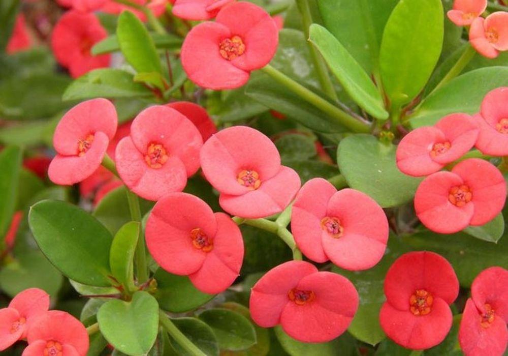 Euphorbia milii splendens, Corona de Espinas