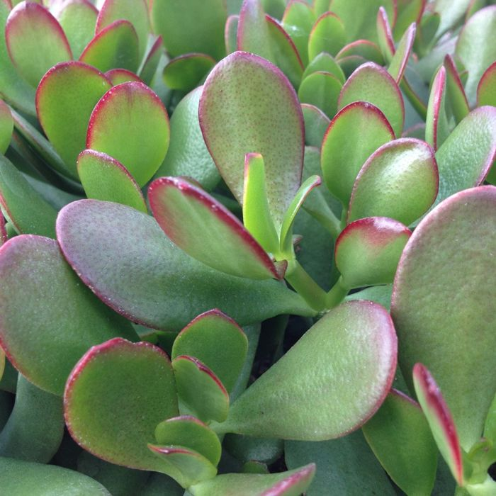 Crassula portulacea minor