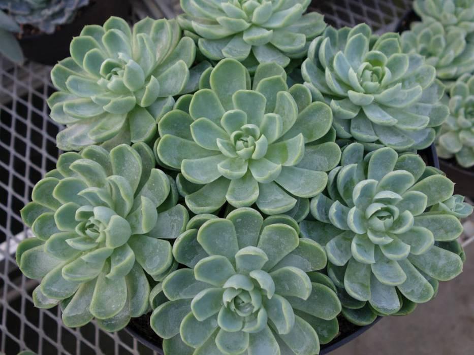 Echeveria spp