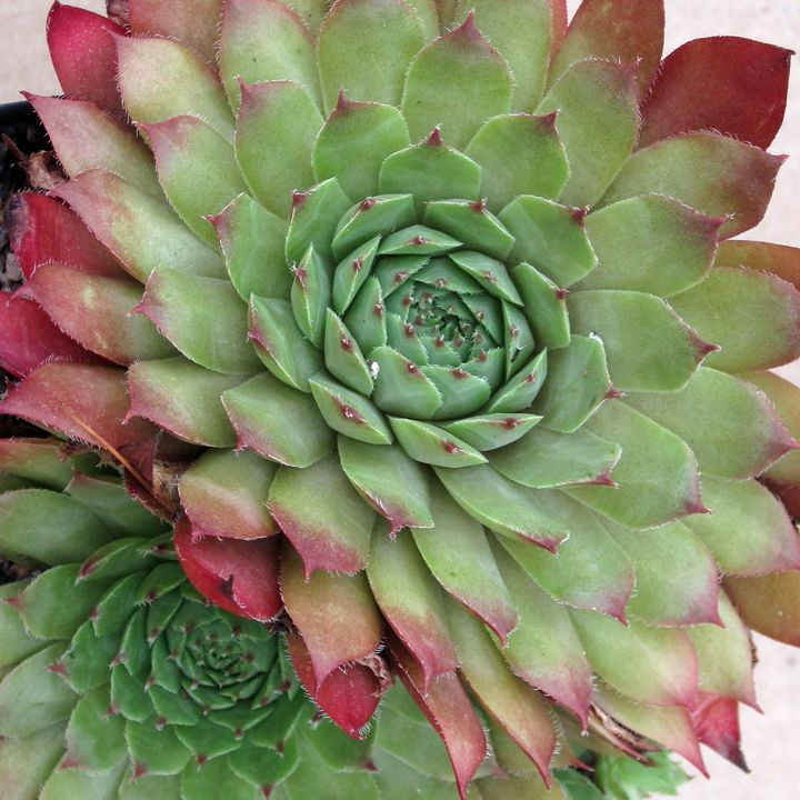 Sempervivum spp green