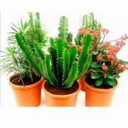 Euphorbias roma de clavisa