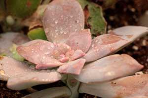 Cactus et plantes succulentes clavisa