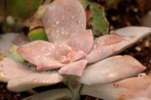 Cactus y plantas suculentas clavisa