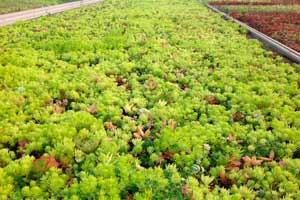 Culture de toitures ecologiques