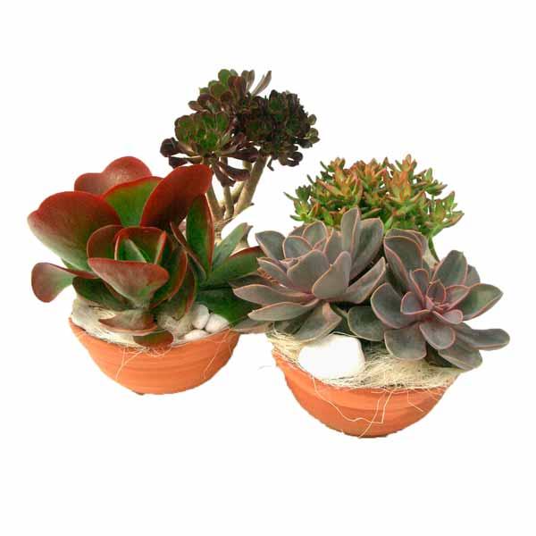 Composicion plantas crasas jardin exterior Barro 20cm