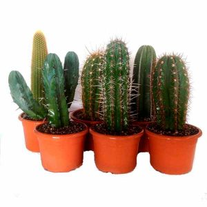Set of cactus 22cm