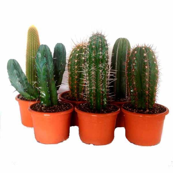 Set of cactus 22cm