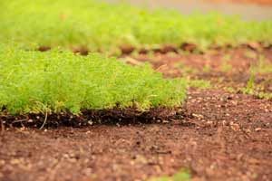 cultiu de mantes verds per a cobertes ecològiques