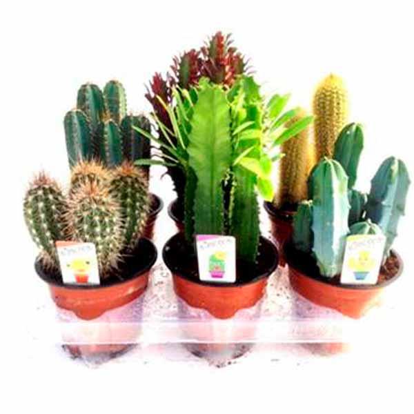 Cactus y plantas suculentas de 13 cm de diametro clavisa - Composiciones de cactus ...