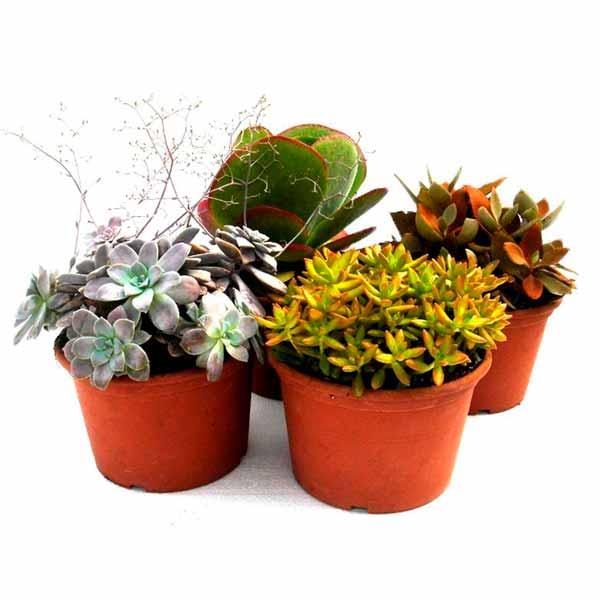 Plantas crasas 22cm de clavisa