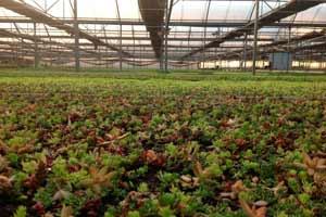 Cultiu de cobertes verdes