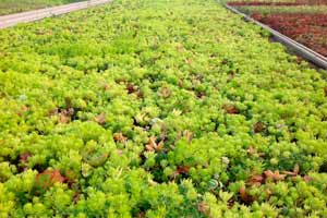 cultivation of green roof