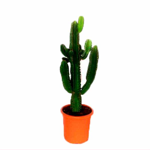 Euphorbias mediano