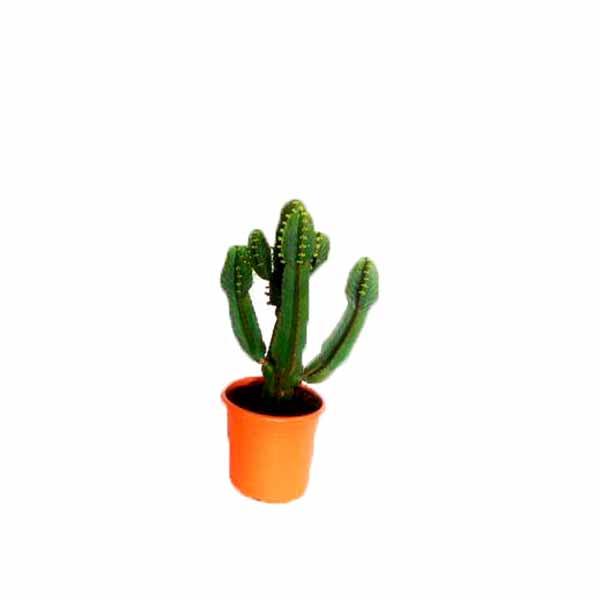 Euphorbias petites