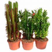 Euphorbias variadas de 22cm de clavisa