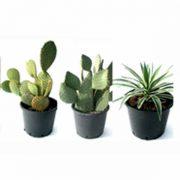 Mix de cactus ejemplar de 30cm de clavisa
